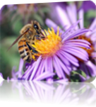 Vign_abeillepesticide